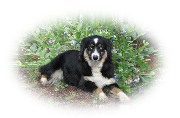 Mini Aussie puppies for sale.  We'll C Mini Aussies is Miniature Australian Shepherd breeder located in NW Montana.