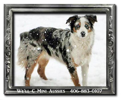 Mini Aussie puppies for sale.  Meet Lacey, one of We'll C Mini Aussies retired Mini Aussie