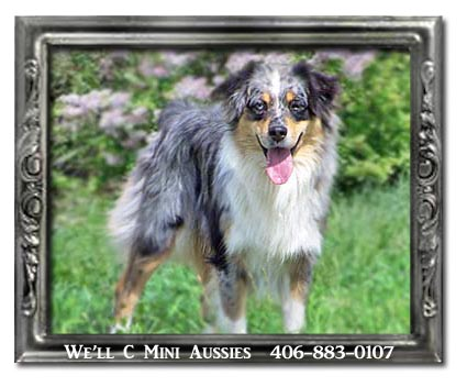 Mini Aussie puppies for sale.  We'll C Mini Aussies is sad to announce that Maya has passed away.