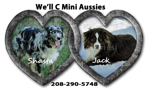 We'll C Mini Aussies' Shasta and Jack are expecting a new litter of Mini Aussie puppies in November 2021.
