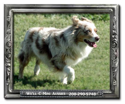 We'll C Mini Aussies' red Merle Mini Aussie stud dog Chance.