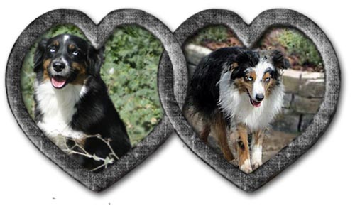 We'll C Mini Aussies', Christa and Deuce, are expecting pups toward the end of November 2021.