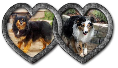 We'll C Mini Aussies' Raven and Deuce are expecting in May of 2021.