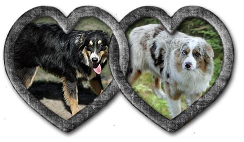 Sally and Chance are expecting a litter of Mini Aussie puppies in April 2021.