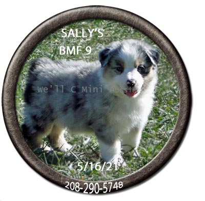 Mini Aussie puppies for sale at We'll C Mini Aussies.  Sally's blue Merle female #9 taken May 16, 2021.