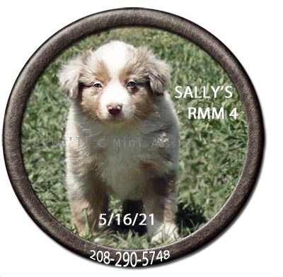Mini Aussie puppies for sale at We'll C Mini Aussies.  Sally's red Merle male #4 taken May 16, 2021.