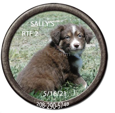 MMini Aussie puppies for sale at We'll C Mini Aussies. Sally's red tri female #2 taken May 16, 2021.