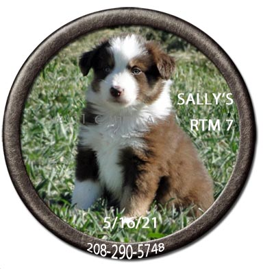 Mini Aussie puppies for sale at We'll C Mini Aussies. Sally's red tri male #7 taken May 16, 2021.