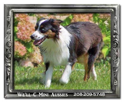 Mini Aussie puppies for sale.  Meet Hope, one of We'll C Mini Aussies retired Mini Aussie