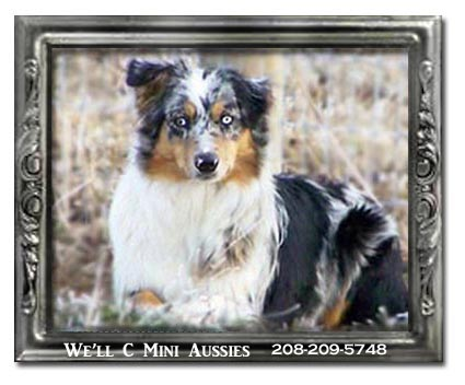 Mini Aussie puppies for sale.  Meet Pia, one of We'll C Mini Aussies retired Mini Aussie