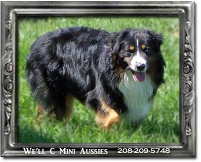 Mini Aussie puppies for sale.  Meet Ruger, one of We'll C Mini Aussies retired Mini Aussie