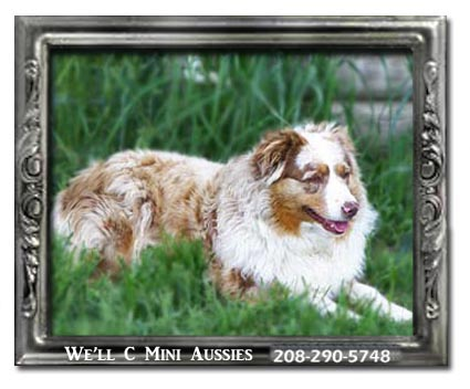 Meet Amber one of our retired female Mini Aussies.