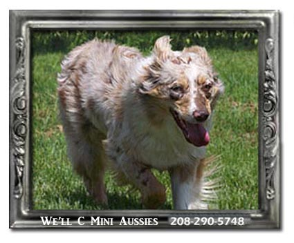 Meet Cinder one of our retired female Mini Aussies.
