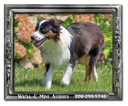 Meet Hope one of our retired Mini Aussie females.