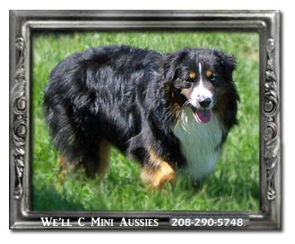 Meet Ruger our retired black tri Mini Aussie stud dog.