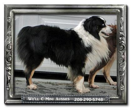 Meet Shade one of our retired black tri Mini Aussie stud dogs.