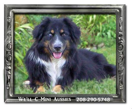 Meet Shawnie one of our retired black tri female Mini Aussie females.