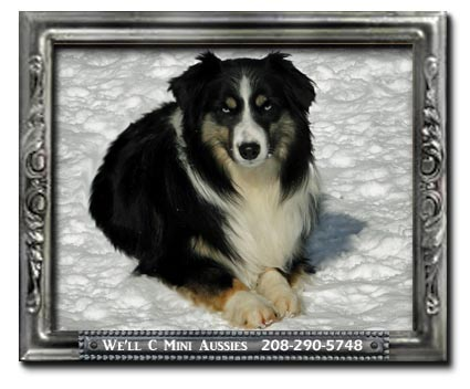 Meet Trace We'll C Mini Aussies' double blue eyed black tri (BET) Miniature Australian Shepherd stud dogs.