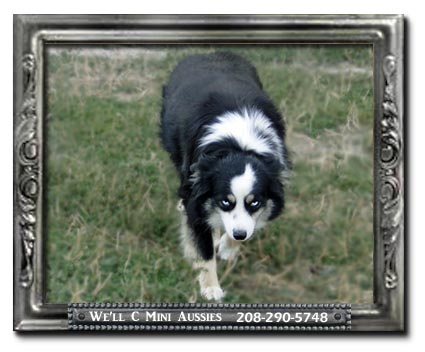 Meet Reba one of our double blue eyed black tri (BET) Mini Aussie females.